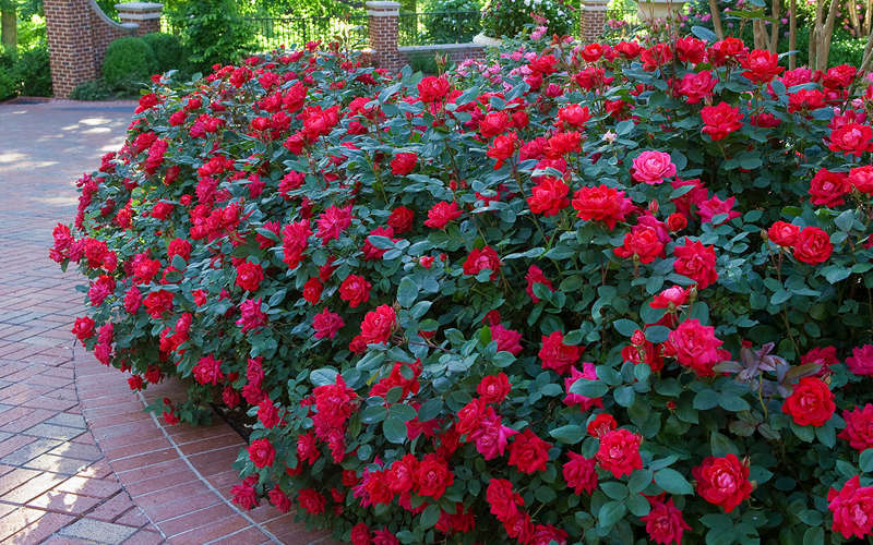 The Easy Way To Grow Roses